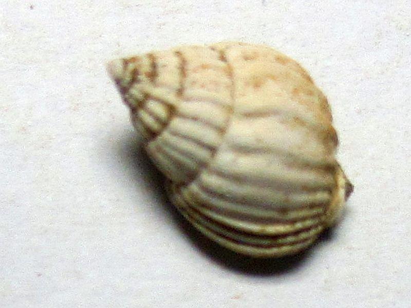 Tritia toulai (Hilber 1879)