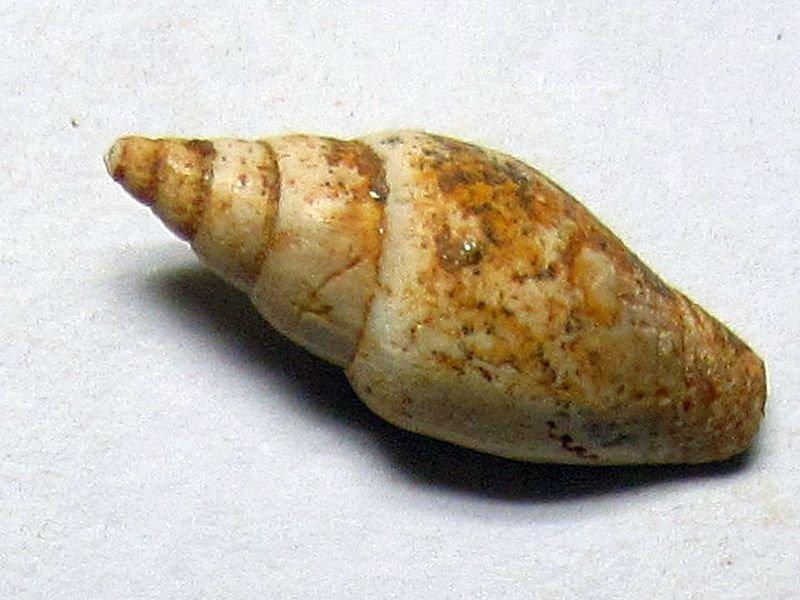 Mitra sp. (Lamarck 1798)