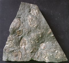 Bobcaygeon Formation Cystoid Plate