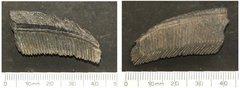 Aetobatus irregularis fragment.JPG