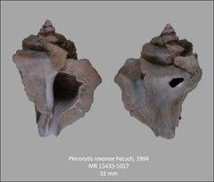 Pterorytisroxanae