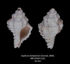 Eupelura tampaensis