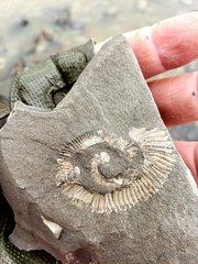 Glyptoxoceras Heteromoprh Ammonite