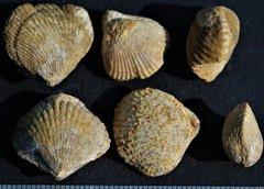 Acanthothyris spinosa Schlotheim Bajocien Normandy
