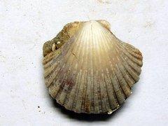 Pecten styriacus (Hilber 1879)