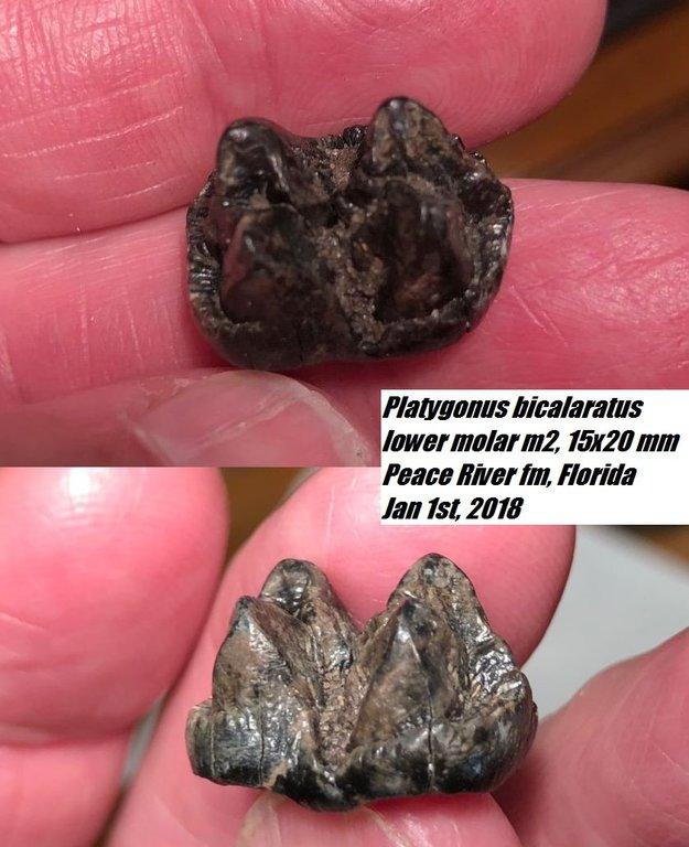 2018Jan1stPlatygonus_bicalaratus.thumb.jpg.f7fe94917ea30db522b513af988ae018.jpg
