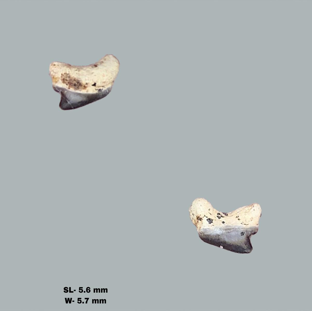 Cenomanian Shark Teeth and other Marine Fauna, Ryazan Oblast, Russia