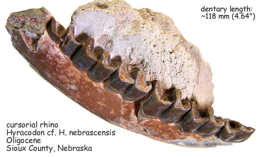 rhino_hyracodon_lower.JPG.5766ebd059f8c95782267f8bd7580003.JPG