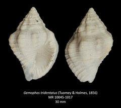 Gemophos tridentatus