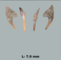 Pseudoscapanorynchus aff. compressidens