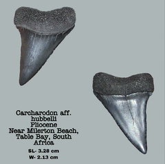 Carcharodon aff. hubbelli
