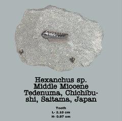 Hexanchus sp.