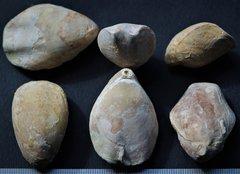 Aromasithyris riazi upper OxfordianCharente-maritime(Ré island)France