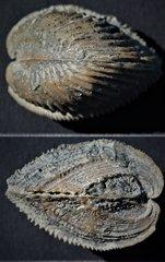 Trigonia reticulata Agassiz, 1840 Oxfordien Villers sur Mer Normandy