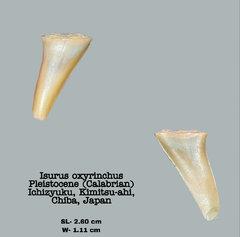 Isurus oxyrinchus