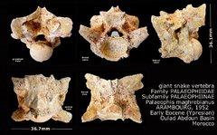 Palaeophis