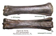 horse (Equus) cannon bone