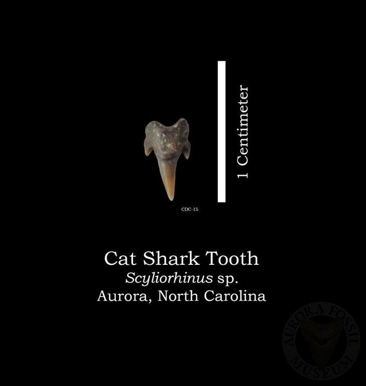 Cat_Shark_02_r.jpg