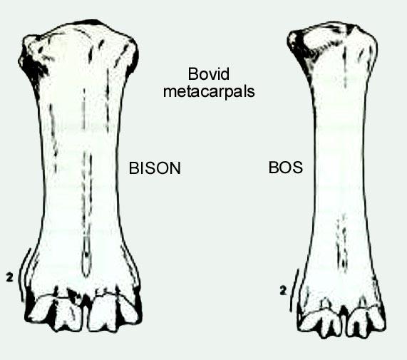 bison_metacarpal.JPG.846e0362e518a3a7986cc05162e556a7.JPG