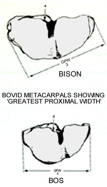 bovid_metacarpal_greatestproximalwidth.JPG.519ff631980bca8d04cc309f4bb8529d.JPG