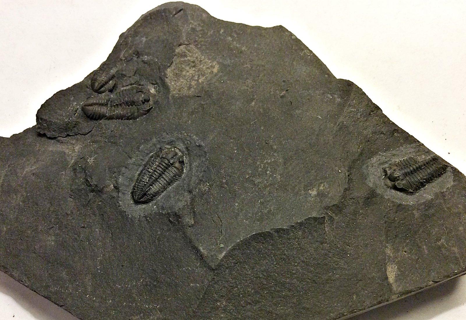 Calymenid Trilobites from New York's Ordovician