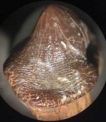 P. mortoni detail