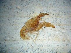 Palaeastacus fuciformis