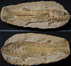 Tharrhias araripis Cretaceous Early Aptian Santana Group Romualdo Formation Ceará Brazil