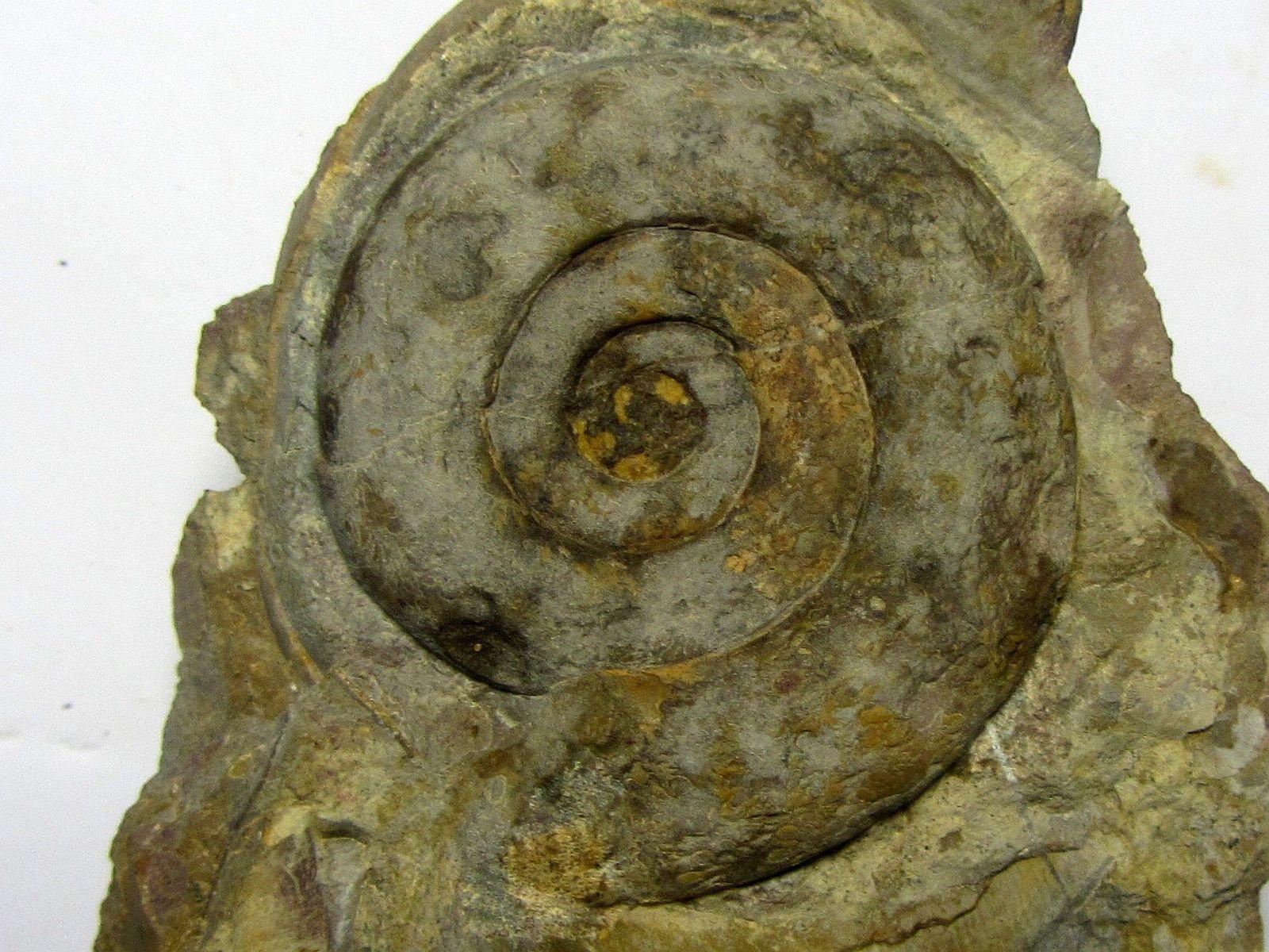 Psiloceras caliphyllum (Neumayr 1879)
