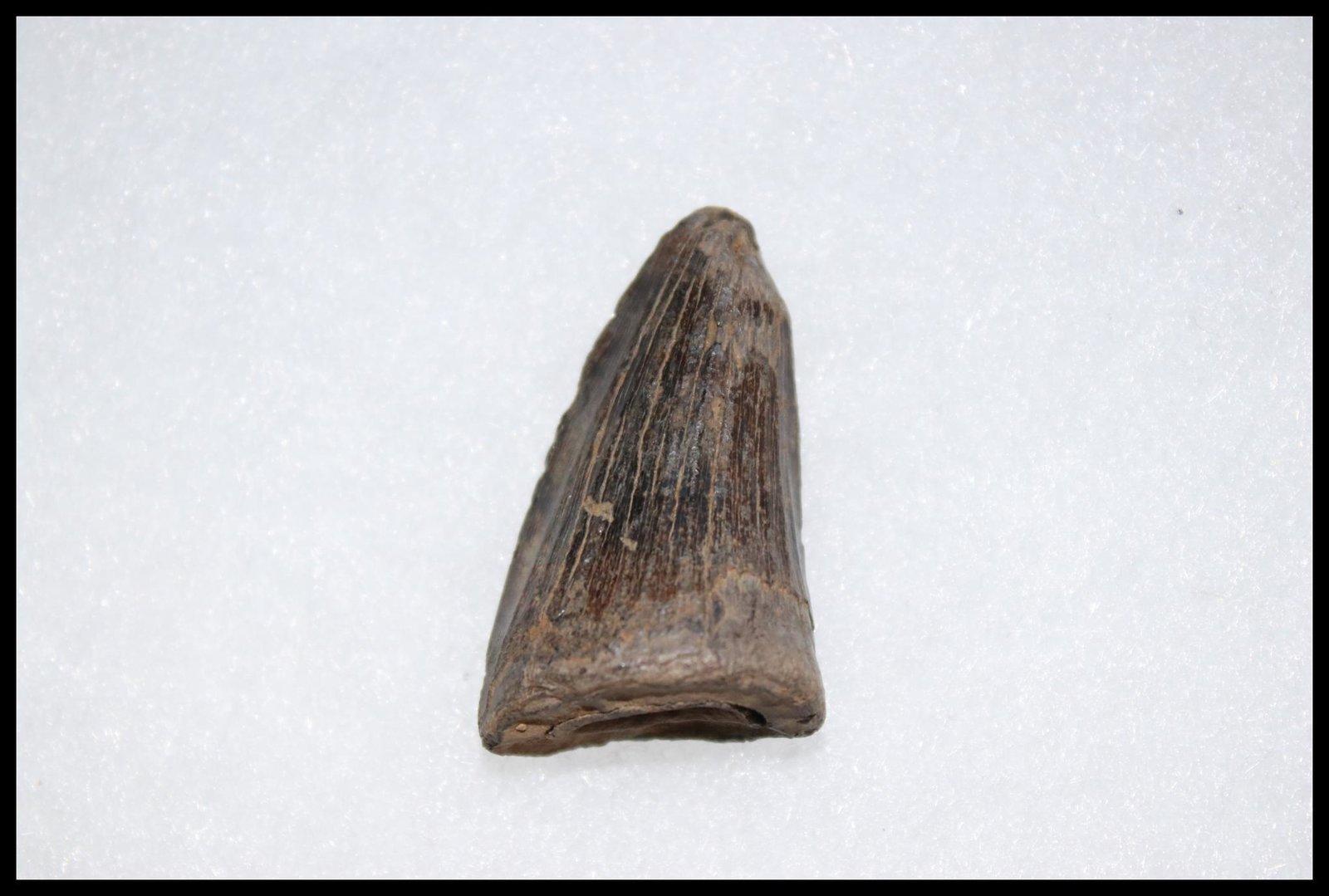 Tooth (Squamata)