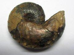 Hoploscaphites constrictus crassus (Lopuski 1911)