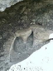 Glen Rose theropod track (2)