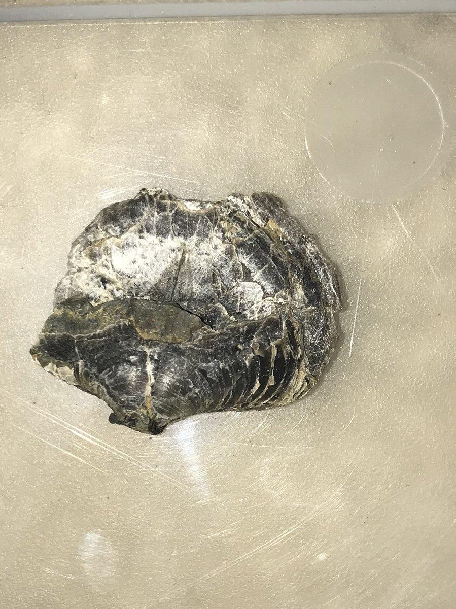 Spiriferid brachiopod from DSR