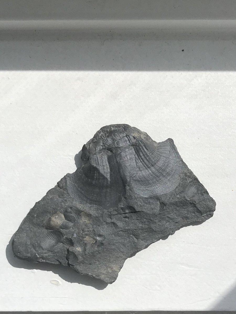 Bellerophontid from DSR