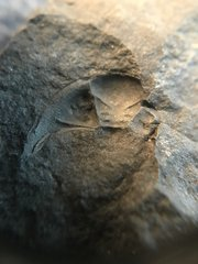 Greenops cephalon imprint