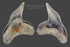 Galeocerdo contortus