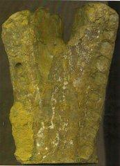 Glaphyrorhynchus aalensis ?