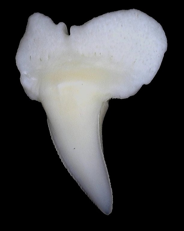5f537b630f0b4_Carcharhinusbrevipinna(SpinnerShark)SymphysealUpper7mm2.thumb.jpg.588495c19d8710b20a5cb90d6e4e6b66.jpg