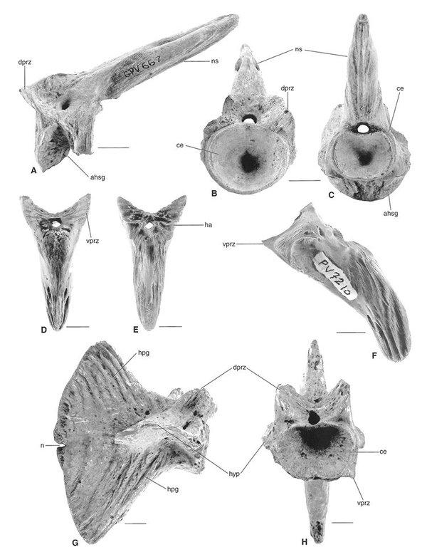 HaemalSpine_Billfish_Aglyptorhynchus_Oligocene_ChandlerBridge_001.thumb.jpg.504ec271fba96c4fc7f2d200c5f69b2b.jpg