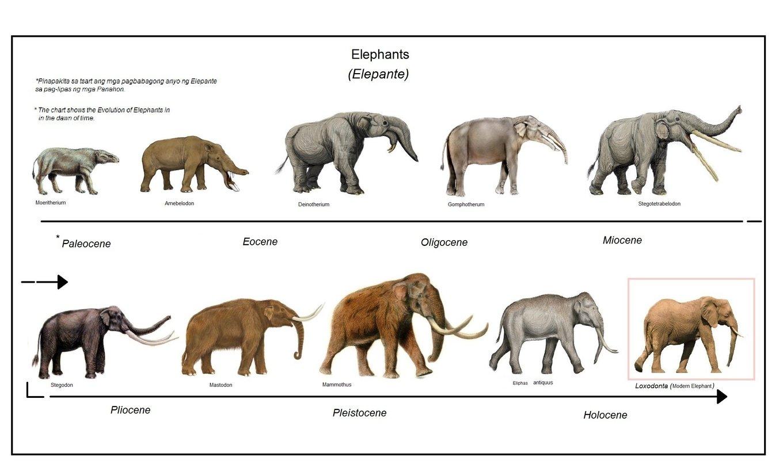 ebolusyon_ng_elepante_evolution_of_elephants.jpg