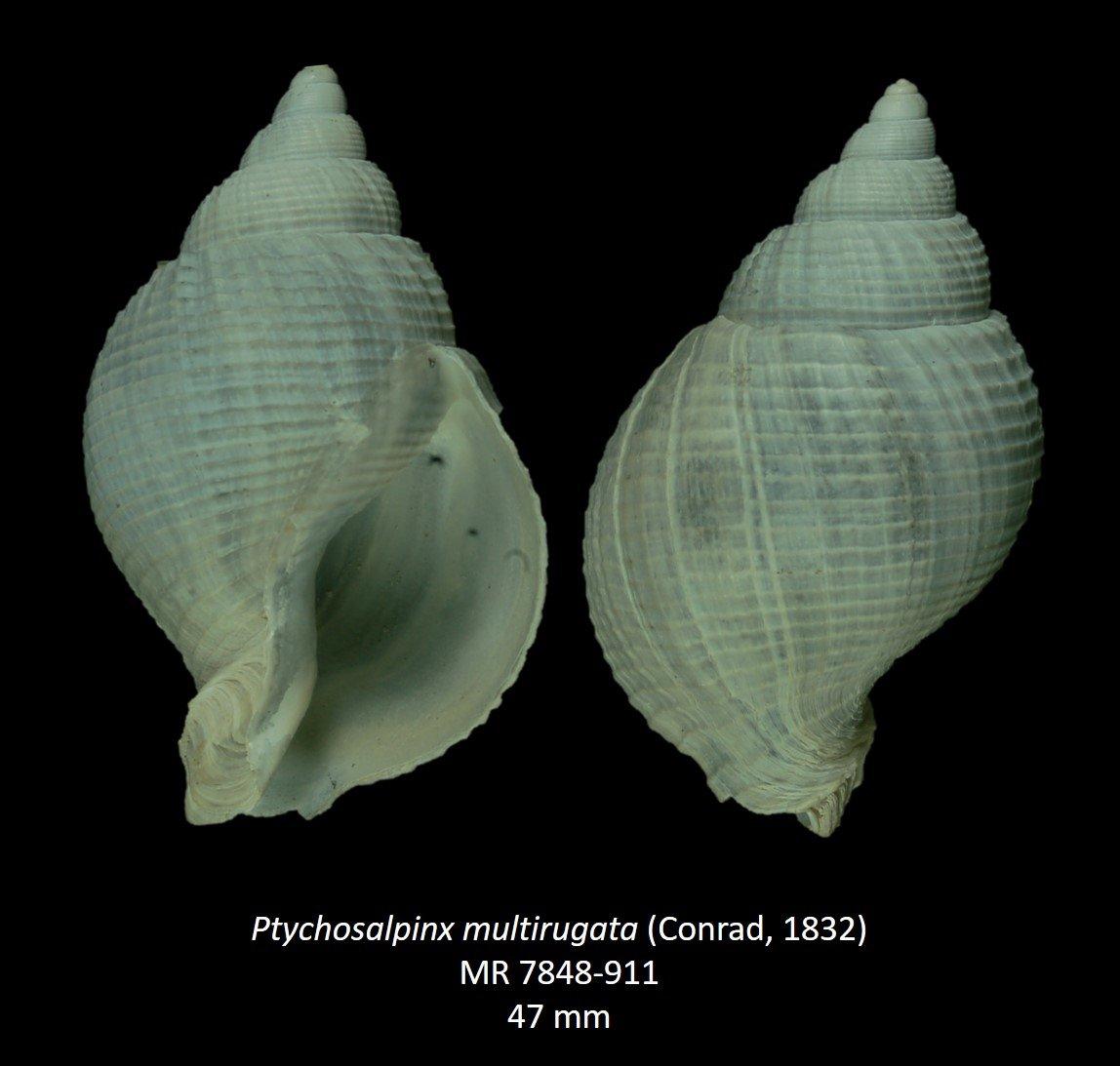 Ptychosalpinx multirugata