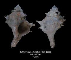Echinofulgur echinatum