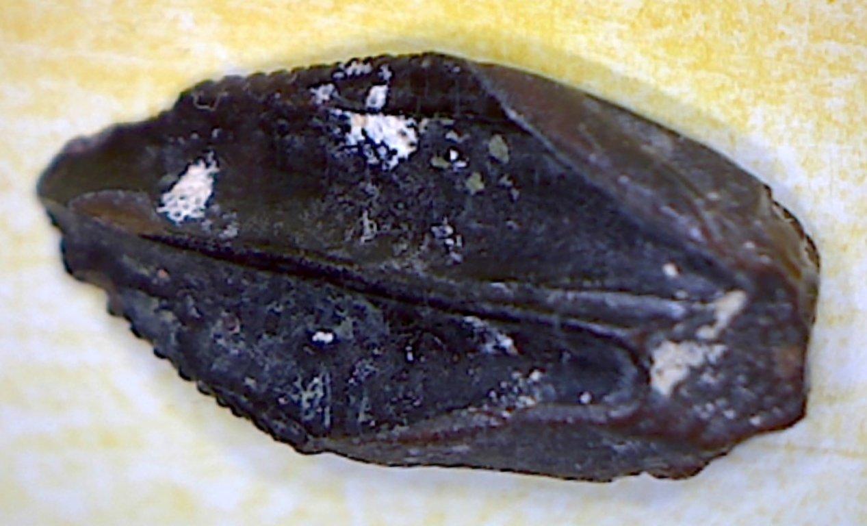5fa1a814e9bbd_Hadrosauridindet.1aTFF0DR022WC.thumb.jpg.80a1206363e56dc51ca244ead4178b18.jpg