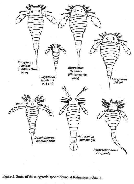 Drawings of Eurypterids.jpg