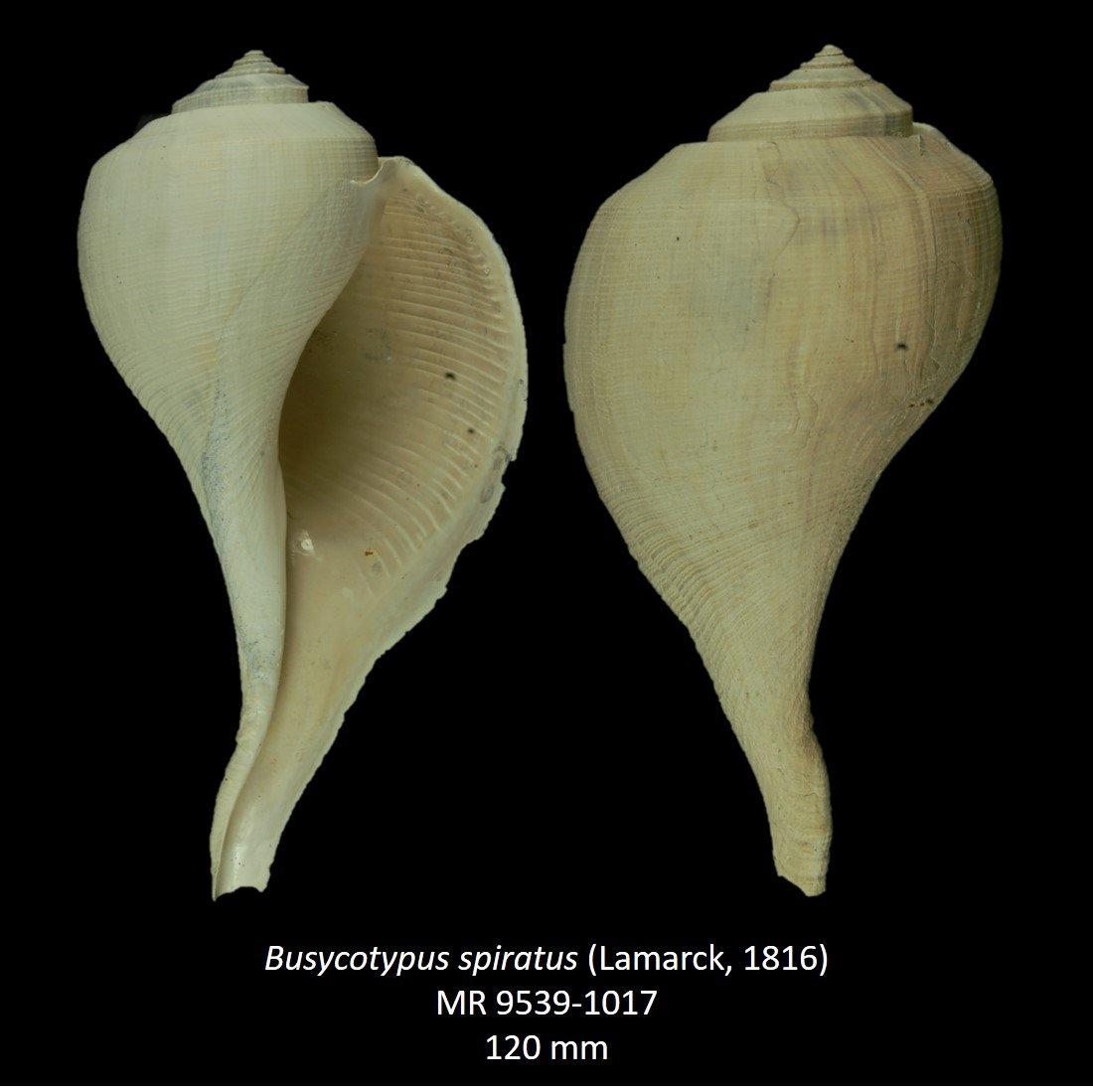 Busycotypus spiratus