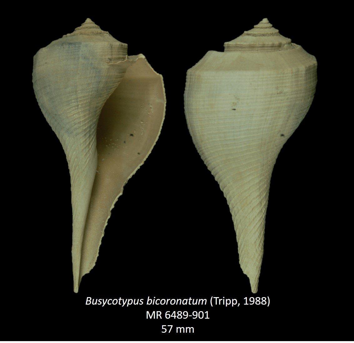 Busycotypus bicoronatum