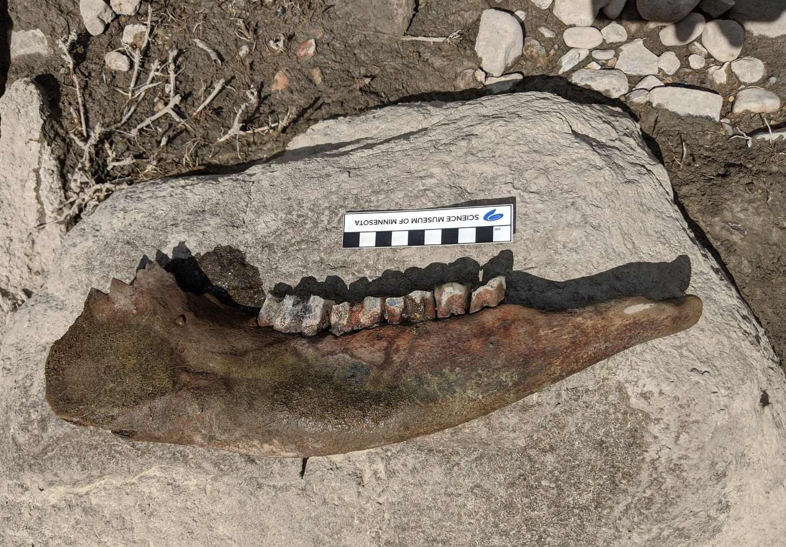 Bison Jaw