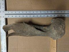 Horse Femur