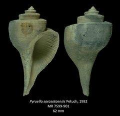 Pyruellasarasotaensis