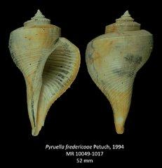 Pyruellafredericoae